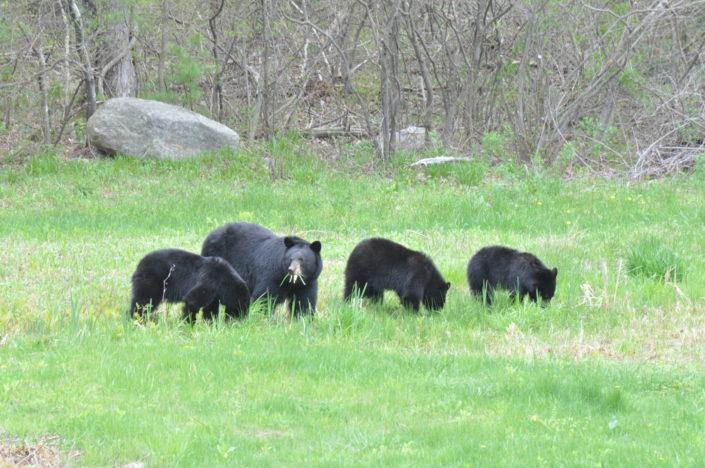 Bears Simsbury