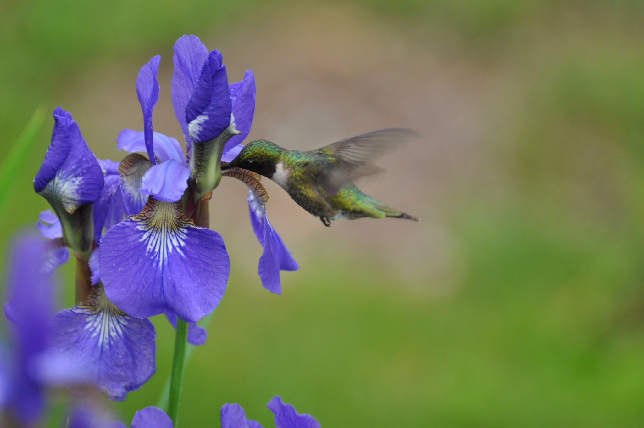 Hummingbird, Iris, ,garden photography