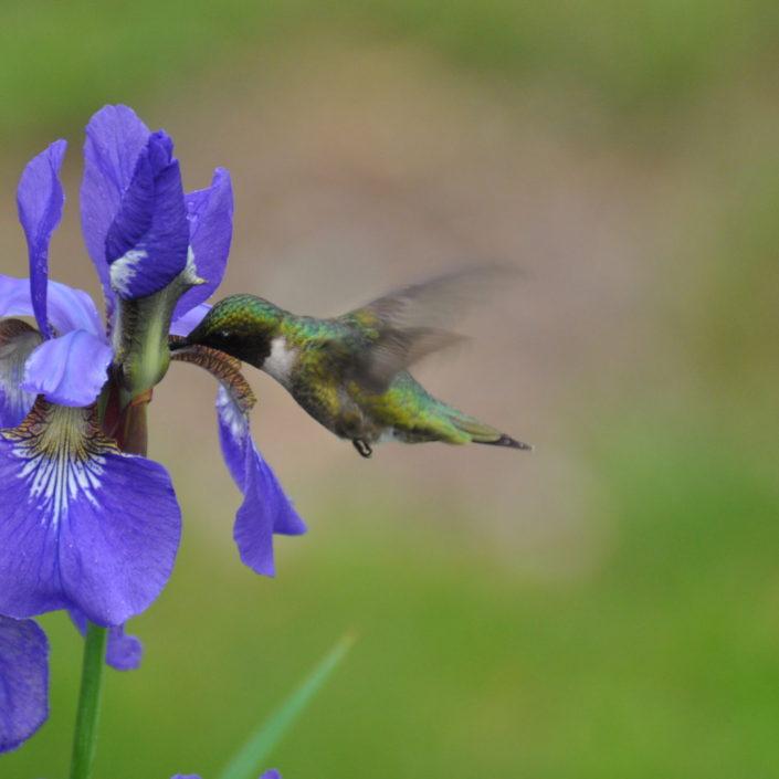 Hummingbird, garden photography