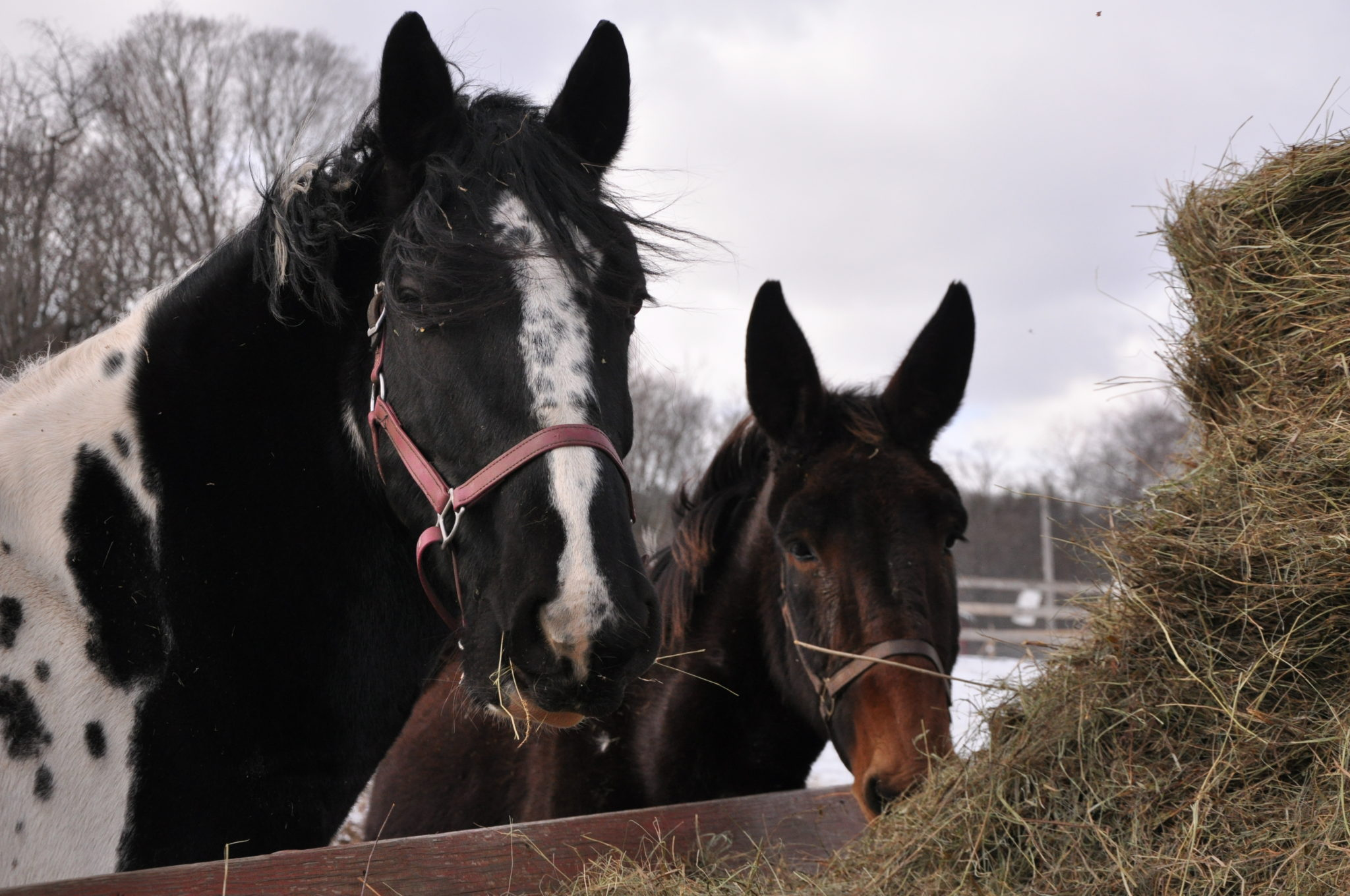 Winter Horses Simsbury, CT, Nature Photography