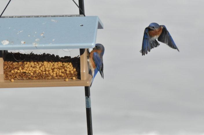 Bluebirds, West Simsbury, Wildlife Photography