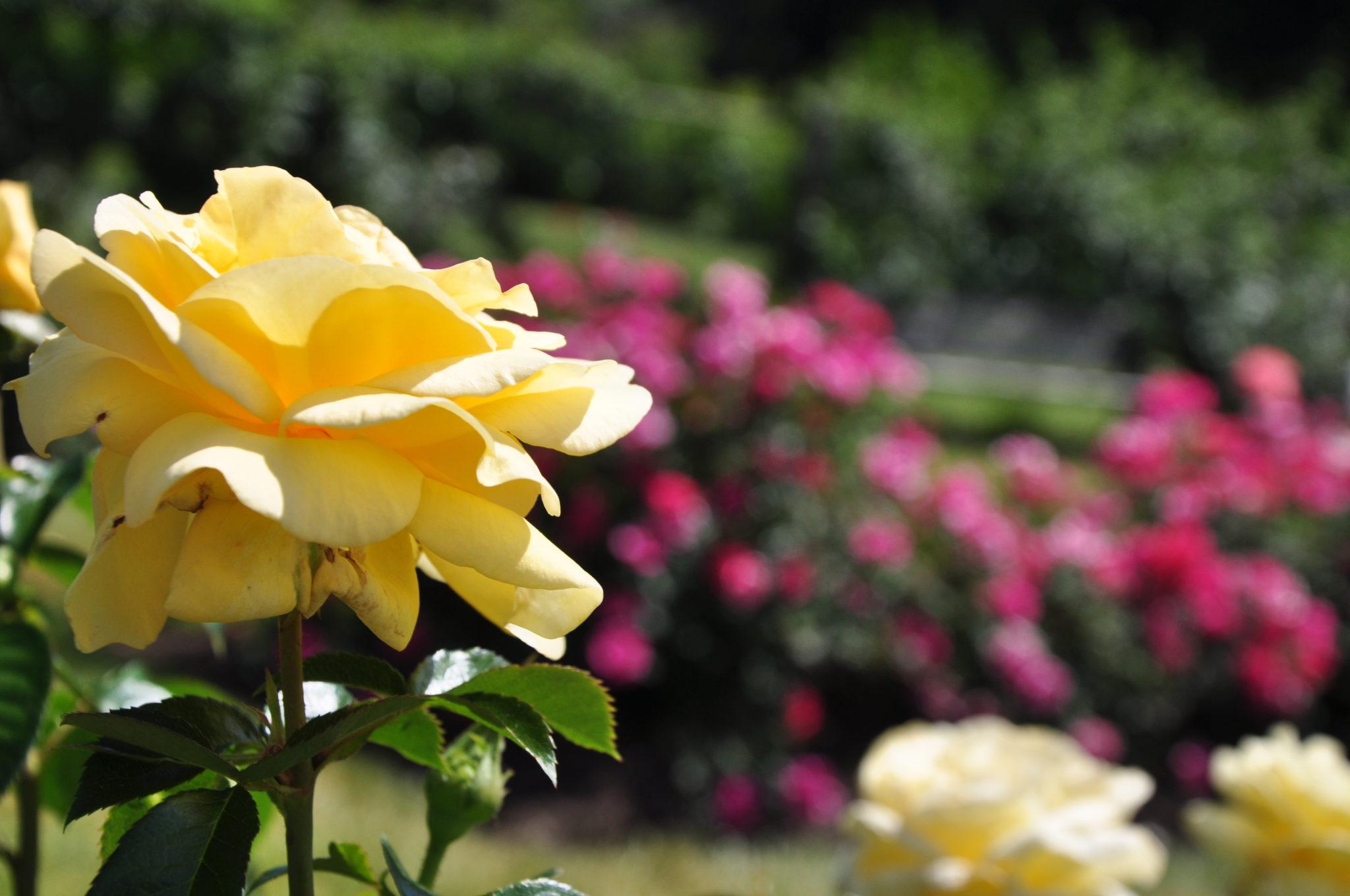 Garden Photography Elizabeth Park Rose Gardens