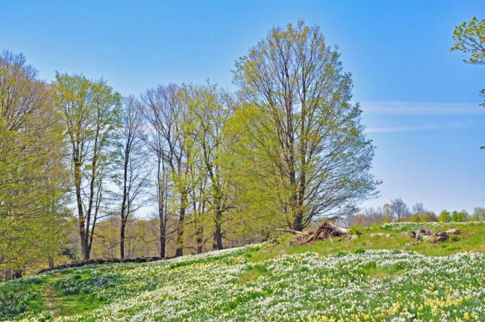 Daffodils Litchfield CT Spring Gardens